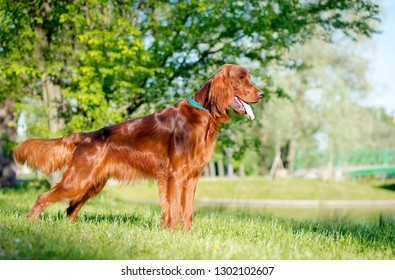 Dog breed Irish setter stands and looks into the distance, in the background of the lake and trees