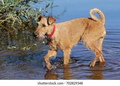Dog of breed the Irish terrier bathes in a lake