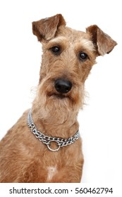 Dog of breed the Irish terrier on a white background