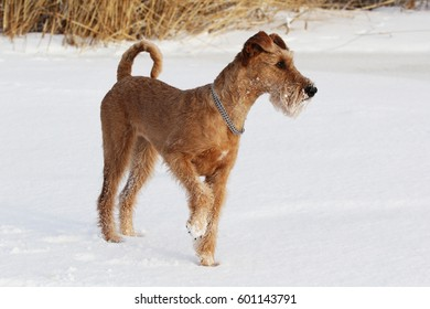Dog of breed the Irish terrier on a walk in winter