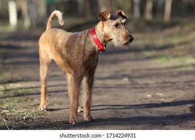 Hunde züchten Irish Terrier für einen Spaziergang im Wald
