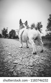 Dog of breed Jack Russel, rear view, looks at his human friend in front of him.