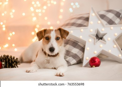 Dog breed jack russel terrier on the couch with a pillow against a background of blurry lights