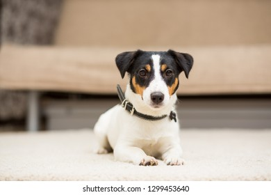 Dog breed Jack Russell Terrier lying on the carpet in the room