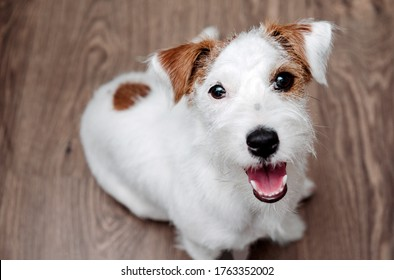 dog breed Jack Russell Terrier sits on the floor and looks up, pet