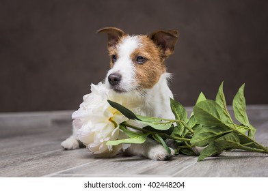 Dog breed Jack Russell Terrier portrait dog on a studio color background, dog lying on the floor of the studio