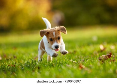 Dog breed Jack Russell Terrier playing in autumn park