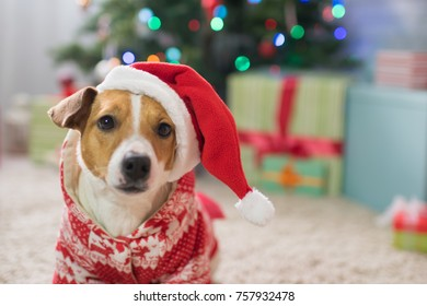 Dog breed Jack Russell under the Christmas tree in the room, Happy Christmas!