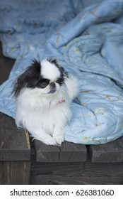 dog breed Japanese chin