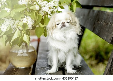 Dog breed Japanese chin with flowers