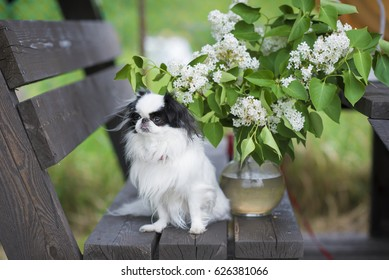 dog breed Japanese chin on the bench