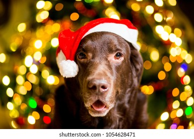 Dog breed Labrador brown color dwarf cap near Christmas tree with garlands