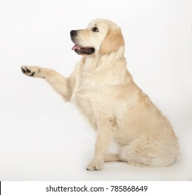 The dog of breed of Labrador Retriever sits on a white background having raised a paw.
