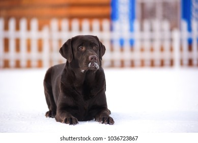 Dog of breed Labrador the wooden house.