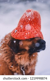 dog breed leonberger in a red Santa Claus knitted hat on the background of white falling snow in the winter on Christmas holiday