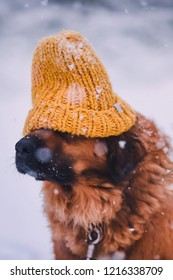 dog breed Leonberger in a yellow knitted hat on the background of white falling snow in the winter on Christmas holidays