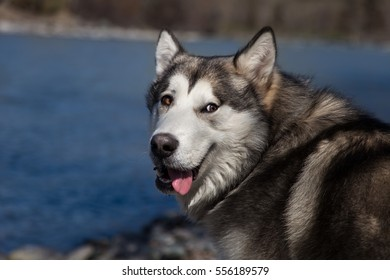 dog breed malamute against the background of the river