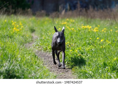 Dog breed Mexican naked runs along footpath in park. High quality photo