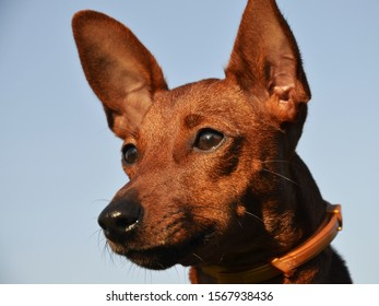 Dog breed mini Pinscher on the background of the sky. The dog is brown, big-eared looks at his master.