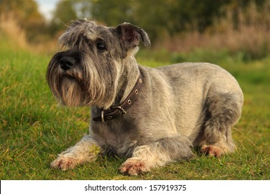 Dog breed Miniature Schnauzer color salt and pepper lying on the grass summer day