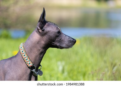 Dog breed naked Mexican in nature. High quality photo