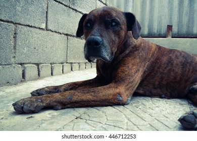 dog breed pitbull tiger coloring sleeping on the street in the yard