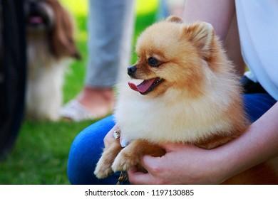 The dog breed Pomeranian spitz a close-up