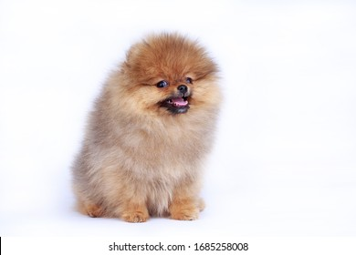 Dog breed pomeranian spitz on a white background