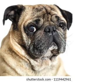 dog breed pug on white isolated background