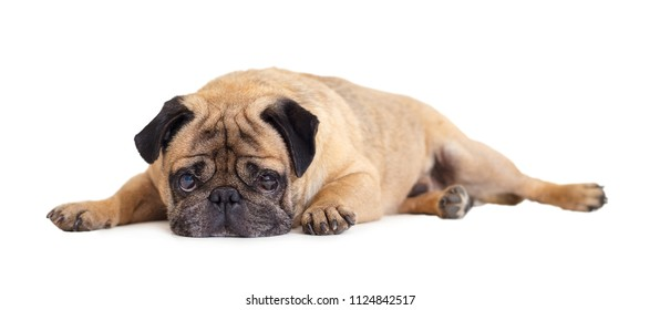 dog breed pug on white isolated background