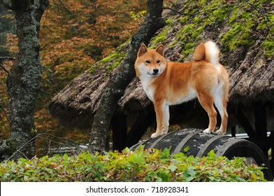 Dog breed red Shiba. He is a dog breed of Japanese origin.
