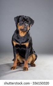 dog of breed a Rottweiler on a gray background