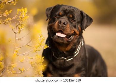 dog breed Rottweiler on a walk beautiful portrait
