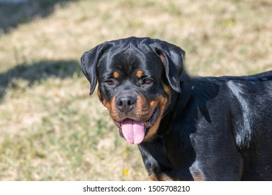 Dog breed Rottweiler on a walk .Selective focus on the dog