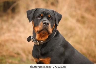 dog of breed a Rottweiler on walk