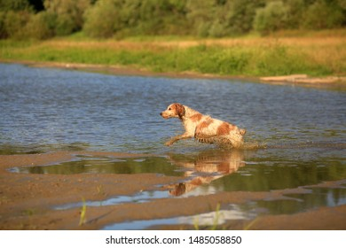 Dog breed Russian hunting spaniel in nature in a jump in the lake water on a summer day