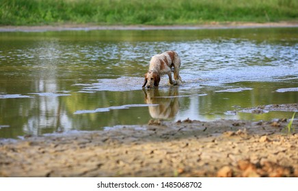 Dog breed Russian hunting spaniel in nature in the lake water on a summer day