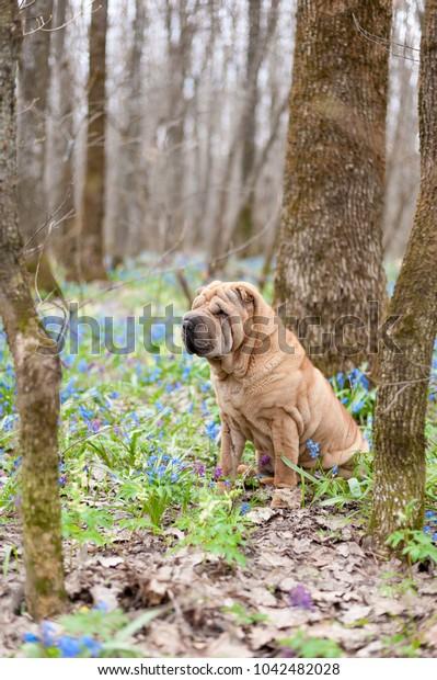 dog breed Shar Pei. in April