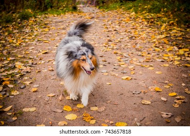 dog breed Shetland sheepdog outside. Dog after a long run. house pet in the wild nature.cute dog .