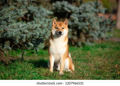 Dog breed Shiba inu in the autumn Park sits under a birch tree.