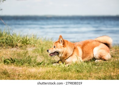 dog breed Shiba Inu lies on a pond background
