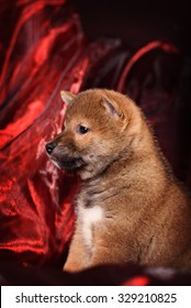 dog breed Shiba Inu puppy in red background
