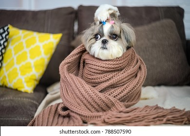 Dog breed Shih Tzu. Dog wrapped in scarf