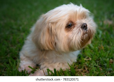 Dog breed Shih-Tzu Brown fur That is in the garden of grass.And are inhaled in order to find something to eat.