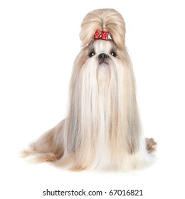 Dog of breed shih-tzu on white background