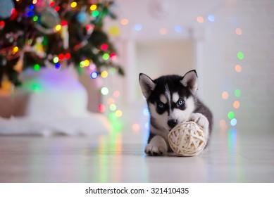 Hunde züchten sibirischen Husky-Welpen, Portraithund auf Studiofarbhintergrund, Weihnachten und Neujahr
