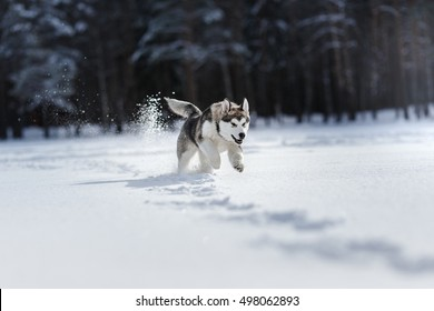 Dog breed Siberian Husky running on a snowy field in winter forest