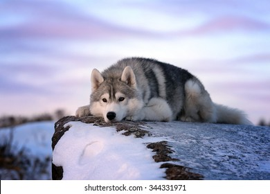 Dog breed Siberian Husky sad at sunset