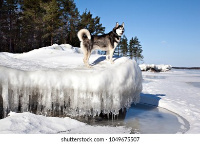 Dog breed Siberian Husky standing on melting ice floe on the shore of Lake Ladoga