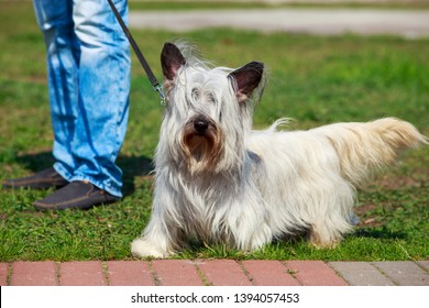 The dog breed Skye Terrier stands on green grass